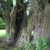 1700-jaar-oude-taxusboom